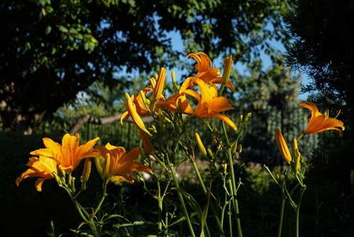 Daylilies in July